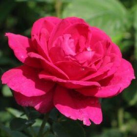 Роза чайно-гибридная Юрианда