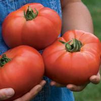 Семена гиганского томата, 100 шт.