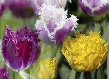 Тюльпаны. Трио