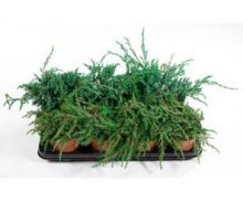 Растение Хвойныймикс C0,5 H15