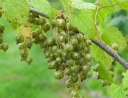 """Смородина зеленая (черная) """"Вилма"""" (Ribes nigrum Vilma)"""