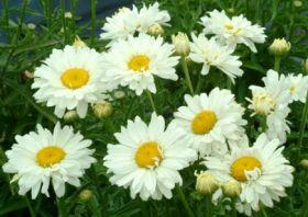 Нивяник великолепный Паладин (Leucanthemum Paladin)