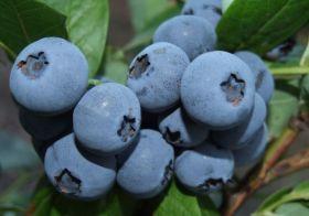 Голубика Бонус (Bonus Blueberry)