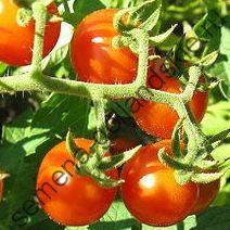 "Томат ""ПРАРОДИТЕЛЬ"" (Solanum pimpinellifolium)  10 семян"