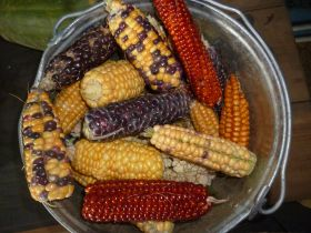 Кукуруза цветная