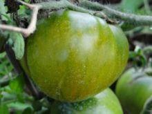 Томат Зеленоплодный