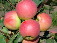 Яблоня традиционная Успенское