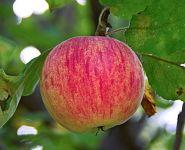 Яблоня традиционная Штрефлинг (Осеннее полосатое, Штрейфлинг, Штрифель)