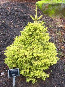 Ель обыкновенная Голд Даст (Picea abies Gold Dust)