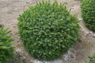 Ель сербская Карел (Picea omorika Karel)