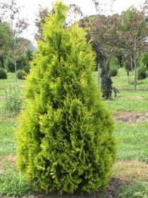 Туя западная Еллоу Риббон (Thuja occidentalis Yellow Ribbon)