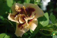 Лилейник 'Розуита' / Hemerocallis 'Roswitha'
