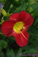 Лилейник 'Скарлет Орбит' / Hemerocallis 'Scarlet Orbit'