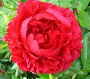 Пион Кэрол (Paeonia Carol)