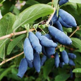 Жимолость плодовая Альтаир