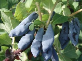 Жимолость плодовая Нимфа