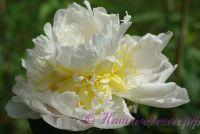 Пион травянистый 'Брайдал Айсинг' / Paeonia 'Bridal Icing'