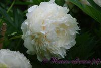 Пион травянистый 'Соланж' / Paeonia 'Solange'