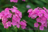 Сеянец флокса 'Пчелка Майя' / Phlox Seedling ' Pchelka Maya'