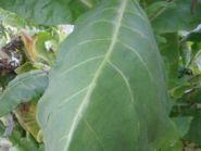 Семена табака Американ 307