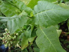 Семена табака сорта Мичуринский (Табак Мичурина).