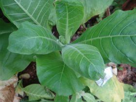 Семена табака сорта Остролист.
