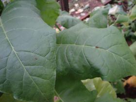 Семена табака сорта Кубинский