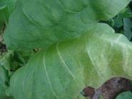 Семена табака сорта Тернопольский 14