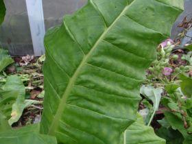Семена табака сорта Крупнолистный 32.