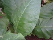 Семена табака сорта Брянский
