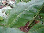 Семена табака сорта Shirey.