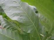 Семена табака сорта Virginia 202