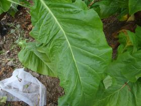Семена табака сорта Vesta 64 (Вирджиния)