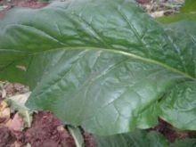 Семена табака сорта Stag Horn (Вирджиния)