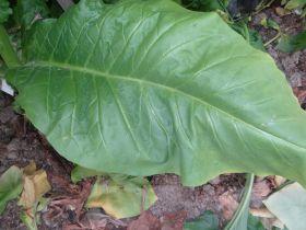 Семена табака сорта Virginia 403