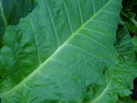 Семена табака сорта Virginia 182