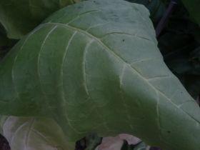 Семена табака сорта Virginia 24