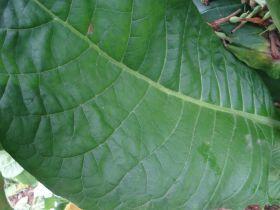 Семена табака сорта Virginia Hugo leafe