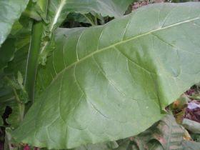 Сигарные. Lancaster Seed leaf
