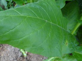Разные. Сорт Banana Leaf