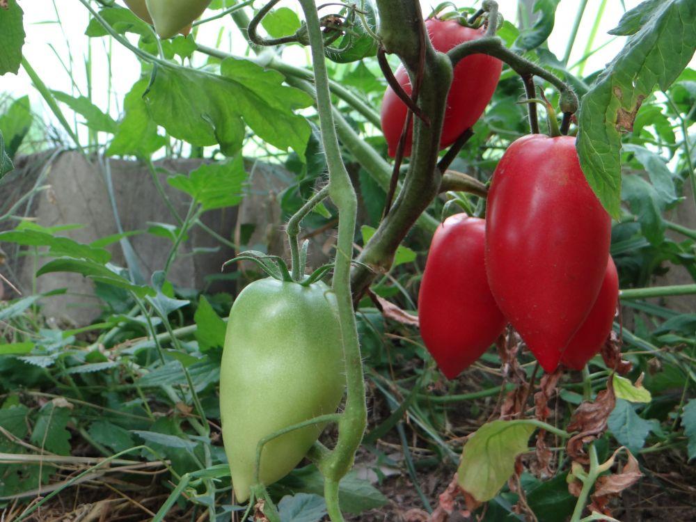 этом неожиданная томат кенигсберг отзывы фото фото