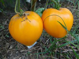 Томат Китайский Оранжевый (З.Г)