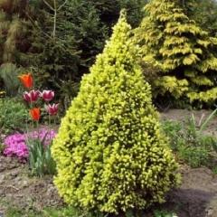 Ель сизая Коника Майголд (Picea glauca Conica Maigold)