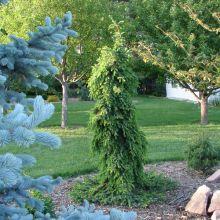 Ель сербская Пендула  (Picea omorika Pendula)