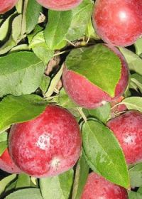 Яблоня колоновидная Малиновое Ожерелье