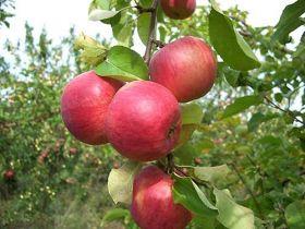 Яблоня традиционная Жигулевское