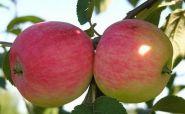 Яблоня традиционная Мельба