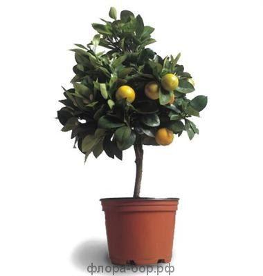 Лимон декоративный