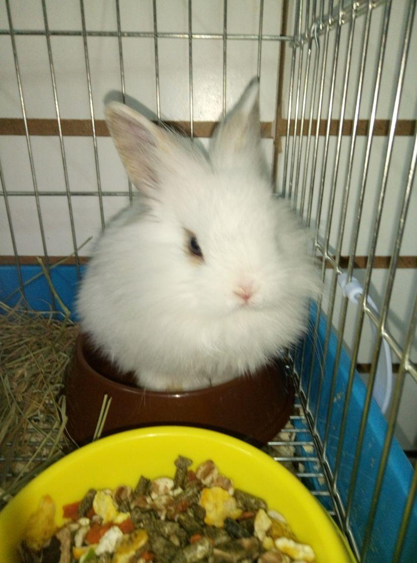 Декоративный кролик, девочка