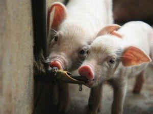 Ниппельная поилка для свиней и поросят НП-15